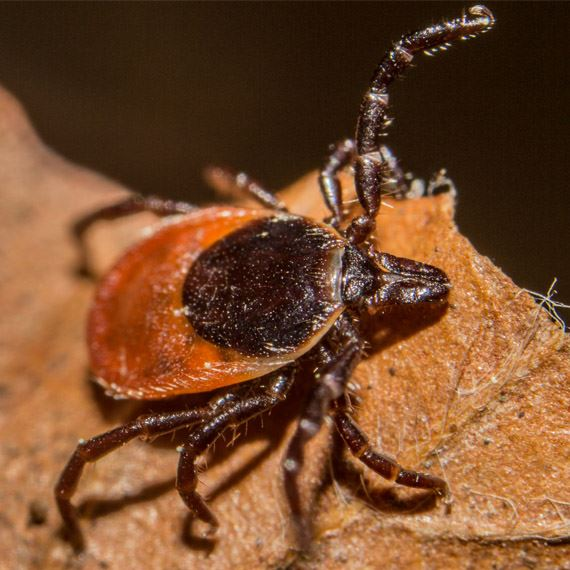 Homeowners and businesses in Roseville trust the certified tick control professionals at Specialized Pest Patrol