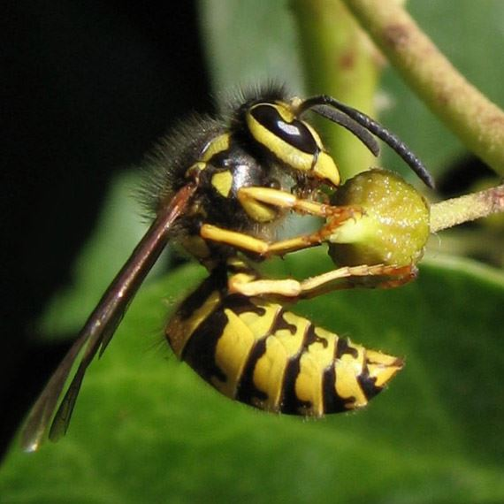 Wasp Control Experts Specialized Pest Patrol gets rid of wasps like the one pictured above
