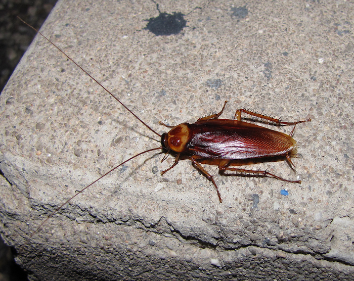 Homeowners and businesses in Roseville trust the certified cockroach control professionals at Specialized Pest Patrol