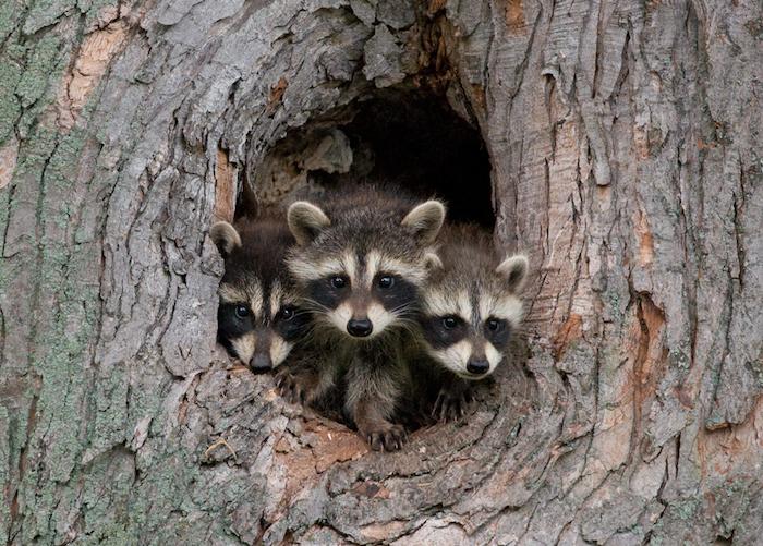 raccoonstree