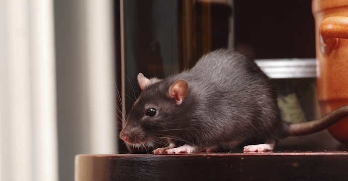 Sacramento Rodent