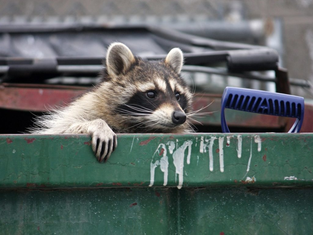 Raccoon-garbage