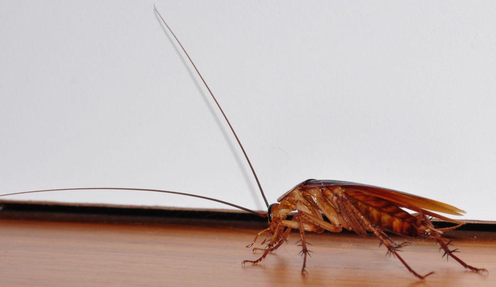 Cockroach-closeup