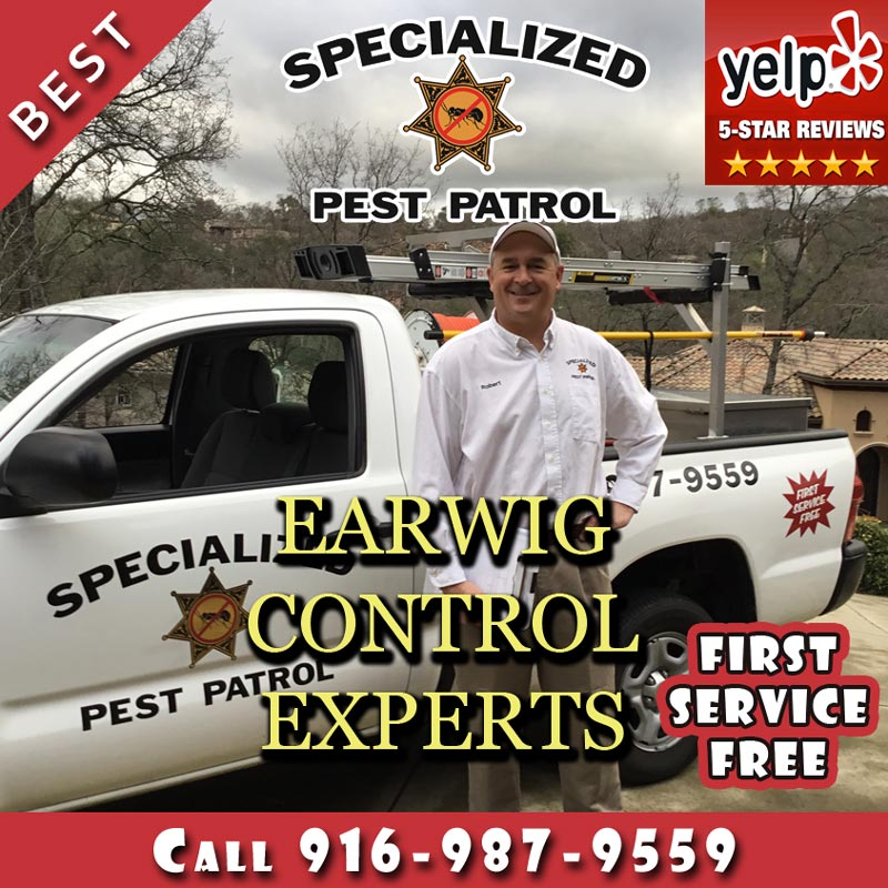 Earwig Control by Specialized Pest Patrol